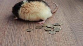 Monsieur Rat comptant l'argent liquide Le rat drôle noir et blanc se repose sur des pièces de monnaie et lave son museau banque de vidéos