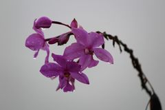 Monsoon orchids Royalty Free Stock Photography