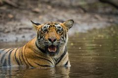 In a monsoon season and on a rainy day this male tiger cub relaxing in nature at ranthambore tiger reserve, India. Clicked him in a evening safari at ranthambore royalty free stock images