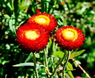 Monster Fireball Red Strawflower. This is a Summer picture of a Monster Fireball Red Starflower in the Chicago Botanical Gardens located in Glencoe, Illinois in stock photos