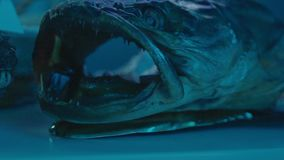 Monster Fish with Open Mouth. And sharp teeth stock footage