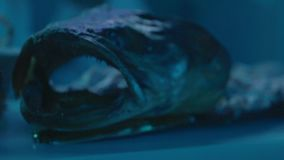 Monster Fish with Open Mouth. And sharp teeth stock video footage