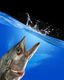 Monster Fish. Royalty Free Stock Photo