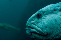 Monster fish underwater. Fjord fishes in Norway. Underwater view royalty free stock photos