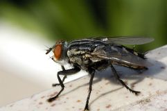 Monster Fly Royalty Free Stock Image