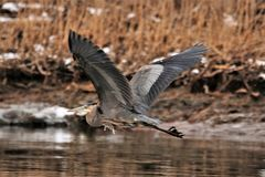 Monster Heron in full span royalty free stock photos