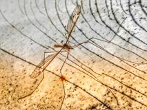 Monster of night shift mosquito vampire royalty free stock photography