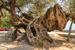 Monster olive. 2000 year old olive tree (Olea europaea) in Exo Hora on the island of Zakynthos. It's the oldest tree on the island Royalty Free Stock Image
