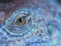 A dragon eye. A monster reptile eye. Blue colorful skin of an iguana and a big open eye stock images