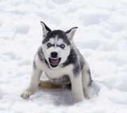 Monster. Siberian husky puppy is very angry Royalty Free Stock Photos