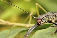 Monster - stick insect Royalty Free Stock Photos
