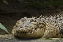 The monster teeth (Crocodile) Royalty Free Stock Images