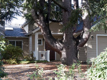 Monster tree. Extremely wide bodied tree with thick branches taking over the house Stock Photos