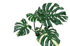 monstera或分裂叶子爱树木的人杂色的植物叶子  图库摄影