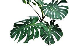 monstera或分裂叶子爱树木的人Monste深绿叶子  库存图片