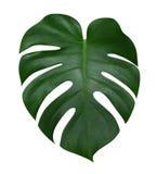 Monstera植物叶子,在白色背景隔绝的热带常青藤,道路 免版税库存照片