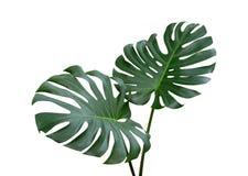 Monstera植物在白色背景,道路离开,被隔绝的热带常青藤 库存图片
