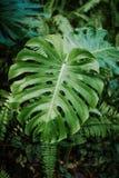 Monstera植物 免版税库存照片