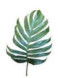 Monstera,在白色backgroun隔绝的爱树木的人热带叶子 免版税库存图片