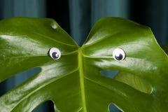 Monstera κουρτινών κλίσης ματιών τεράτων Στοκ Φωτογραφίες