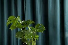Monstera κουρτινών κλίσης ματιών τεράτων Στοκ φωτογραφία με δικαίωμα ελεύθερης χρήσης