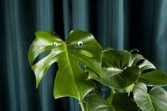 Monstera κουρτινών κλίσης ματιών τεράτων Στοκ Εικόνα