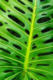 monstera листьев Стоковая Фотография