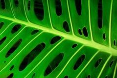 monstera листьев Стоковые Изображения