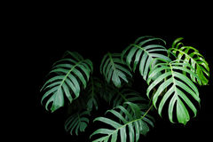 Monstera绿色叶子种植生长在狂放,热带为 图库摄影