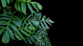 Monstera绿色叶子种植生长在狂放,热带为 库存照片