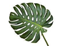 Monstera Lizenzfreies Stockfoto