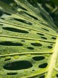 Monstera après la pluie Image libre de droits