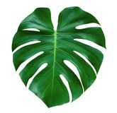 Monstera-Betriebsblatt, die tropische immergrüne Rebe lokalisiert auf weißem Hintergrund, Weg lizenzfreie stockfotografie
