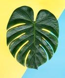 Monstera blad med hård skugga Arkivfoton