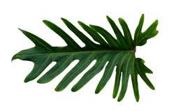 Monstera deja las hojas con el aislante en las hojas blancas del fondo en blanco Imagen de archivo