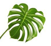 Monstera deliciosa叶子或瑞士乳酪植物,在白色背景隔绝的热带叶子 免版税库存照片