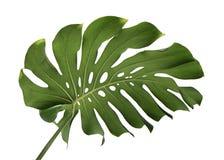 Monstera deliciosa叶子或瑞士乳酪植物,隔绝在白色背景,与裁减路线 免版税库存图片