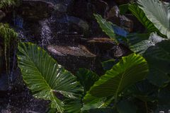 Monstera deliciosa叶子 瀑布背景的异乎寻常的坚固性绿色雨林植物 免版税库存图片