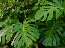 Monstera deliciosa Obrazy Royalty Free