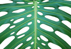 Monstera deliciosa Stock Photos
