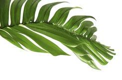 Monstera-deliciosa Blatt lokalisiert auf weißem Hintergrund Stockfotografie