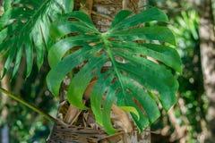 Monstera Deliciosa. Close up Green Leaf Monstera deliciosa, Hurricane crop / split leaf Philodendron, Monstera deliciosa Liebm, Araceae Royalty Free Stock Photos