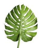 Monstera deliciosa eller blad för växt för schweizisk ost tropiskt Arkivbilder