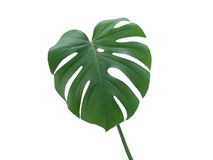 Monstera Deliciosa Leaf. Green Monstera Deliciosa Leaf on a white background Royalty Free Stock Photography