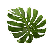 Monstera deliciosa leaf isolated on white background. Monstera deliciosa leaf or Swiss cheese plant, isolated on white background, with clipping path Royalty Free Stock Images
