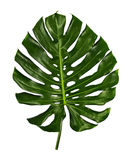 Monstera deliciosa leaf isolated on white background. Monstera deliciosa leaf or Swiss cheese plant, isolated on white background, with clipping path Royalty Free Stock Photography