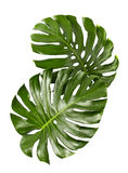 Monstera deliciosa leaf isolated on white background. Monstera deliciosa leaf or Swiss cheese plant, isolated on white background, with clipping path Stock Images