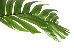 Monstera deliciosa leaf isolated on white background Stock Photography
