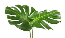 Monstera deliciosa leaf or Swiss cheese plant, isolated on white background, with clipping path. Monstera deliciosa leaf or Swiss cheese plant, Tropical foliage Stock Photos