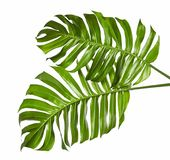 Monstera deliciosa leaf or Swiss cheese plant, isolated on white background, with clipping path. Monstera deliciosa leaf or Swiss cheese plant, Tropical foliage Royalty Free Stock Image